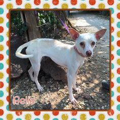 Meet Belle, an adoptable female Chihuahua looking for a forever home.in Amarillo TX https://www.petfinder.com/petdetail/33522983