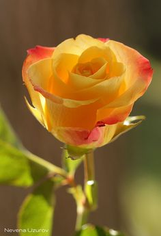 Golden Rose  In the love language of flowers, yellow roses mean joy and friendship