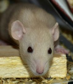 Spectacular Find this Pin and more on Rats Ratten Farbratten