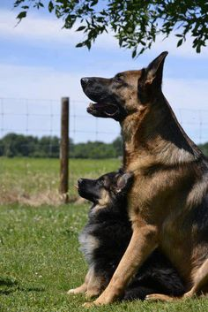 German Shepherds-I love how the pup is leaned back against the big dog.