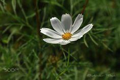 白色的波斯菊 -