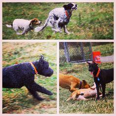 Fun & games at country camp! #evasplaypupspa #dogs #dogcamp #doggievacays #playtime #dogsinnature #runfree #spanielsofinstagram #jackrussellsofinstagram #labsofinstagram #dogsofinstagram #autumn #sweaterweather #endlessmountains #mountpleasant #PA #pennsylvania