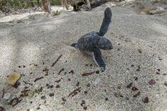 Cool Pictures Of Nature, Turtle Love, Tortoises, Sea Turtles, Club, Life, Animals, Beautiful, Naturaleza