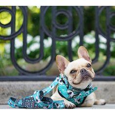 Leo, the French Bulldog, @frenchieleo on instagram