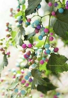 """Porcelain vine berries are edible raw or cooked, though they are described as """"not very palatable"""" on the Plants. The vine's leaf buds, leaves and stems. Flowers Perennials, Planting Flowers, Flowers Garden, Green Flowers, Wild Flowers, Amazing Flowers, Beautiful Flowers, Belle Plante, Fruit Photography"""