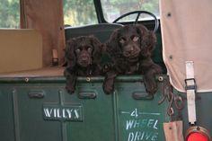 Sweet Hazel and Dunn, Boykin spaniels from Henderson, Texas