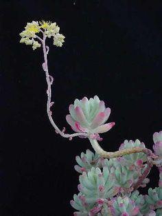 Sedum pachyphyllum (photo & collection Jean-Michel Moullec)