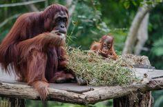 Orangutan at Sepilok Orangutan Rehabilitation Centre Sabah Malaysia
