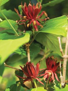 Bring spicy aromas into your garden mix with the deep red appeal of Carolina Allspice: http://www.bhg.com/gardening/trees-shrubs-vines/shrubs/summer-blooming-shrubs/?socsrc=bhgpin022215carolinaallspice&page=3