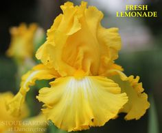 """(Vincent Christopherson 2013) TB iris, 38"""" (97 cm), EML S. and style arms yellow; F. yellow, same color veins over white petal centers; beards yellow. Sdlg. B09-2A: That's All Folks X Abdul Unknown. E"""