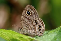 A ventral view of a female Common Five Ring(Ypthima baldus zodina) (Wet-season form) photographed by YoyoFreeLance in Taiwan on 12th September 2015