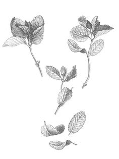 Black And White Mint Illustration By Annarepp On Creativework247