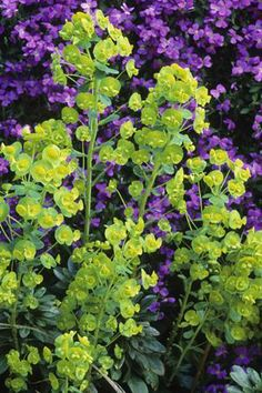 Euphorbia amygdaloides (for shady corner in back garden)