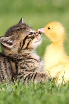 Kitten and duckling