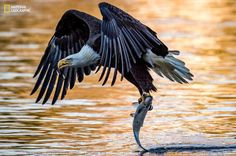 A mature bald eagle drags the tail of a fish across the surface of the water after picking it up out of the Susquehanna River. It was late in the day when the sun was setting, casting an orange hue over the water.    - Eric Esterle, National Geographic