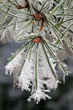 Frozen pine tree
