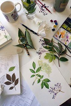 Elder botanical illustration step by step by Lizzie Harper natural history illustrator