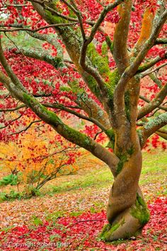Autumn Twist. I want a tree like this. Some guy be like the movie Dr.Seuss' The Lorax and go to the end of the earth to find a tree like this. Haha