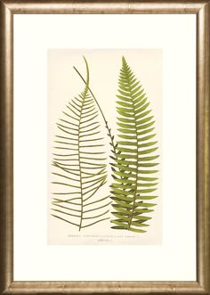 Transitional Ferns by E.J. Lowe, Esq. Framed Painting Print