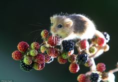 Dormouse on blackberries. Beautiful nature scene for tattoo.