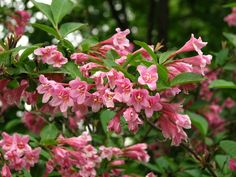 A rózsalonc (Weigela florida) gondozása - CityGreen. Florida, Clay Soil, Yard Design, Trees And Shrubs, Planting Flowers, Home And Garden, Plants, Google Search, Image