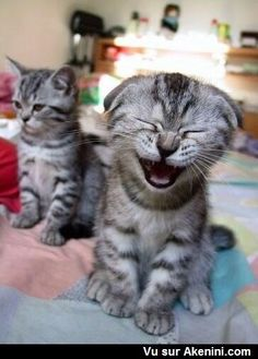 Chat qui rigole - Cat laughing