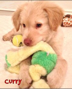 This is Curry - 4  months old. He was dropped off at a shelter in the middle of the night. His foster is working on potty & crate training, he gets along with other dogs, cats & kids. Puppies need obedeince & socialization class, mental & physical exercise, training, structure, guidance, time, attention, patience & love. Curry is looking for a forever home and is at Neuse River Golden Retriever Rescue NC.