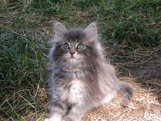 The NORWEGIAN FOREST CAT has a beautiful, thick, luxurious, water-proof double layered coat. They are fluffy from tip to toe with tufts of hair around the ears and in between their toes. Their tail is bushy like a huge brush. They use it to wrap around them when they sleep to prevent getting cold from the weather. It is said that these long haired cats explored the world with the Vikings, working as mousers for the grain stores.