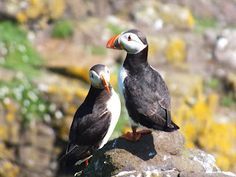 #Puffins on #Isle of #May