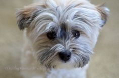 Havanese closeup-L.jpg Havanese closeup-L.jpg Source by swpdxgirl The post Havanese closeup-L.jpg appeared first on Dolan Dogs. Havanese Haircuts, Havanese Grooming, Havanese Puppies, Dog Grooming, Cute Puppies, Cute Dogs, Dogs And Puppies, Dog Haircuts, Teacup Puppies