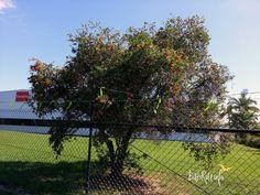 Rescue barbed wire megabat black female 24/04/2014 - Bats_Rule!