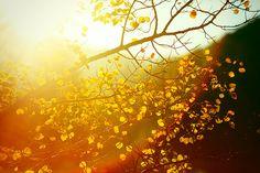 Ethereal Autumn    Sunlight through an aspen tree in the Bear Paw Mountains near Warrick, Montana.