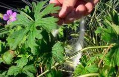 Mira Estos Seis Trucos Que No Sabías Sobre Cómo Utilizar El Azúcar Herbs, Plants, Gardening, Gardens, Remedies, Hacks, Flamingo, Home, Garten