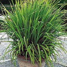 Lemon Grass (zone 10 - bring inside during temps less than approx 30 degrees; good source of citronella, repels mosquitoes)