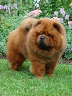 red so  much like our Chow Tai Chi when he was just a puppie  so cuddly and lovable.  i sure miss him.