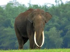 Have a wonderful #ElephantFriday from all of us at Elephant FamilyWhat a beautiful bull…and what an amazing set of almost perfectly matched tusks! Gorgeous! [Via: Elephant Family.]