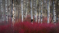 Red twig dogwood under story among paper birches (Betula papyrifera)
