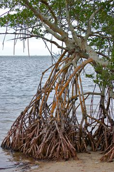 An extensive network of prop roots supports this red mangrove tree at Emerson Point Preserve in Palmetto, FL