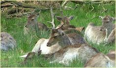 Fallow deer at Bolderwood deer sanctuary