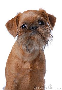 brussels griffon puppies - Google Search
