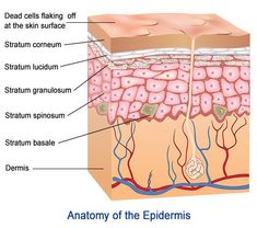 The epidermis, which is the topmost layer, actually has 5 sub-layers. The stratum basale is the deepest layer, while the stratum corneum is the outermost layer of epidermis. Bodytomy takes a closer look at these layers along with their functions. Basic Anatomy And Physiology, Skin Anatomy, Nursing School Notes, College Notes, Layers Of The Epidermis, Medical Anatomy, Layers Of Skin, Body Systems, Phlebotomy