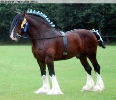 Shire Draft Horse | Shire - stallion Cumeragh House Classic | Draft Horses