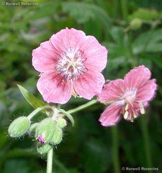 Geranium phaeum  - Dusky Cranesbill - 'Rose Madder'