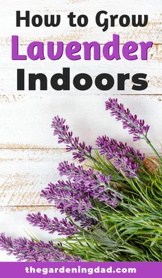 Lavender Growing for Beginners - Lavender - Learn how to grow lavender, one of the most popular herbs indoors. Tips include how to grow lavender - Growing Lavender From Seed, Growing Lavender Indoors, Growing Herbs Indoors, Growing Flowers, Planting Flowers, Planting Lavender Seeds, Flower Gardening, Indoor Lavender Plant, Potted Lavender