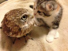 子猫とフクロウの初対面がかわいすぎると話題に(*´∀`*)!!さらに、1週間後には…|ペットフィルム -犬・猫・ペットの画像・動画まとめ petfilm.biz