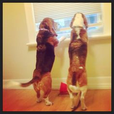 Basset BFFs, mesmerized by a moving truck.