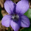propiedades medicinales violeta Purple Garden, Limpieza Natural, Leaves, Nature, Plants, Drink, Herbal Medicine, Peppermint Essential Oils, Growing Lavender