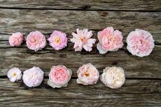 Pale: En haut : Cornelia (5.5) - Felicia (7.5) - Celsiana (8) - Albertine (9.5) - Sharifa Asma (10) - Eglantyne (11)  En bas : Blush Noisette (5) - Duchesse de Montebello (6.5) - Heritage (7.5) - The Generous Gardener (7) - St Cecilia (7.5)