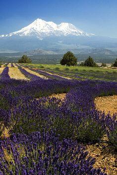 Mt Shasta Lavender Farm, California