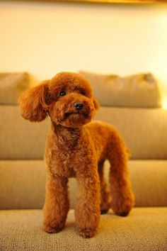 If I ever get a girl poodle, she will be groomed like this AT LEAST once in her poodle life.